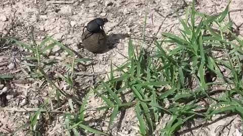 Crazy Dung Beetle?