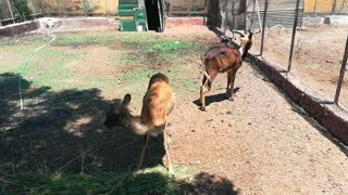 Hungry Couple Of Nile Lechwe Eats Grass