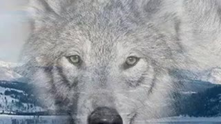 Pictures wolves