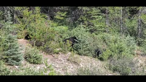 Bears in the wild eating