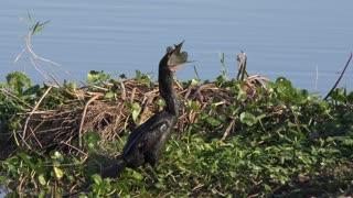 Anhinga bird downing a fish.