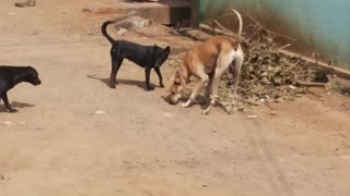 Indian dogs fighting