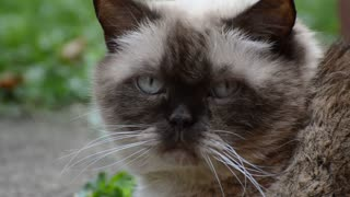 Home Cat Eye Follows Owner Voice When Called