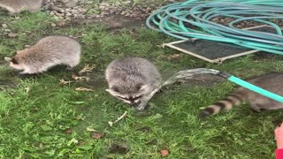 Rescued Raccoon Pups Learn to Wash Up