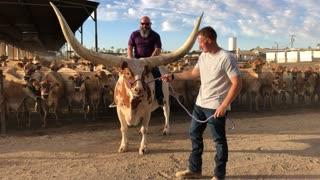 Huge Horn Steer Stands Proudly