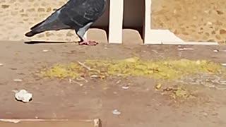 A pretty pigeon in Santa Cruz Oran