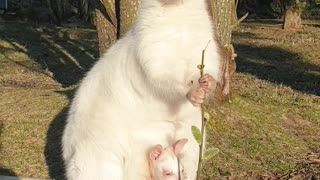 Albino Mother and Baby Wallaby Soak up the Sun