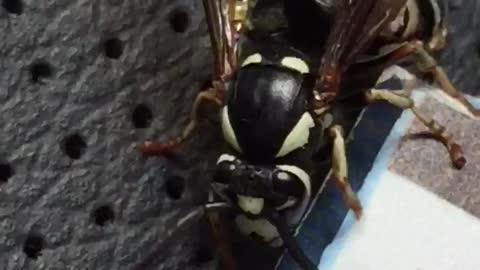 Yellow Jacket Wasp Grooming Itself