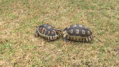 Tortoise attacks