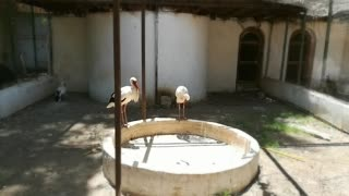 Where do White stork live