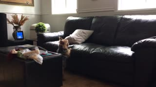 Paranoid dog freaks out over pillow on the couch