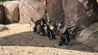 Penguins adorably attempt to chase down bubbles