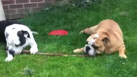 Bulldog best friends sharing a stick