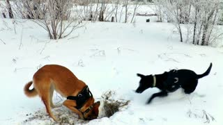 A dog plays in the snow with his death