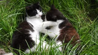 Watch the lovely twin cats petting each other