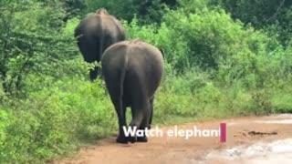 Sri lankan wild elephant cross the road