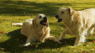 Young Golden Retriever pups playing on the grass