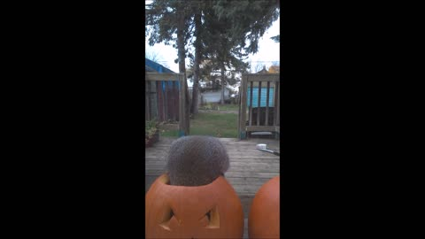 Festive squirrel can't stop feasting on pumpkin seeds