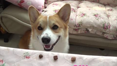 Corgi dog getting treats but..... Why won't he eat it ???