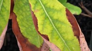 Infection avocado plant Unbelievable