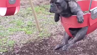 French Bulldog ponders life while sitting in swing