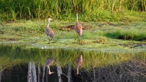 Sandhill Cranes Are Reflected on the Lake at Birch Forest in August in Fairbanks, Alaska