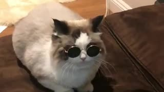Stylish cat shows off new sunglasses