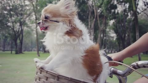 4k slo mo, Chihuahua dog with sunglasses on bicycle basket stock video