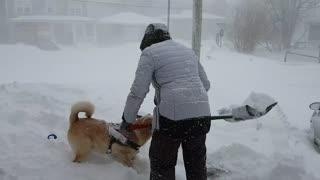 Winter-loving dog chases shoveled snow during a blizzard