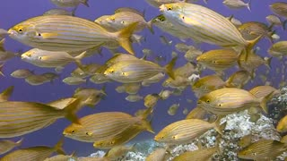 Herd Of Yellow Fishes Traveling under Water