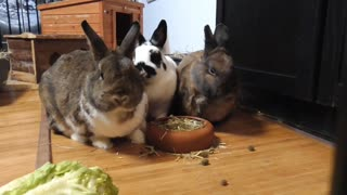 Watch how a family of lovely rabbits eats lunch