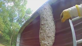 Massive FIVE FOOT Tall Hornet Nest Removed, Hornets Rage!