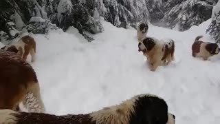 Herd Of Dogs Enjoying The Snow