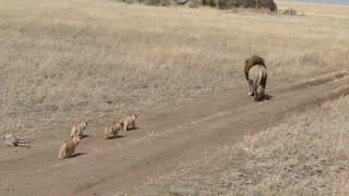 ADORABLE!! Lion Cubs chasing after male lion