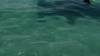 Hammerhead Circles Their Boat
