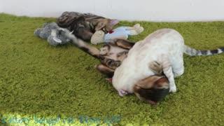 Three Bengal cat Wrestling
