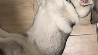 Laziest husky ever drinks water while lying down