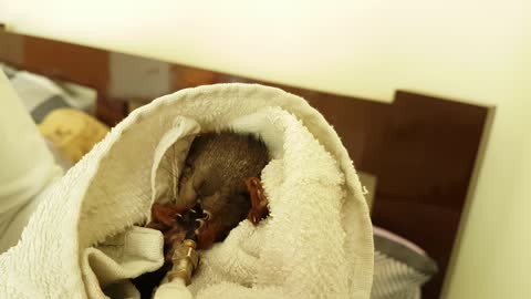 Rescued baby squirrel try to eat