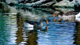 Three Geese