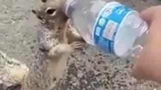 Esquilo persegue e implora por água a humano