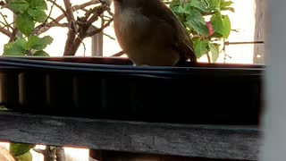Back Yard Birds Hawai'i Momma2
