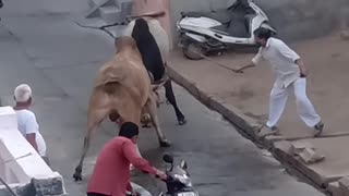Aggressive bull terrier fight on Indian Streets