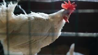 A beautiful chicken please watch