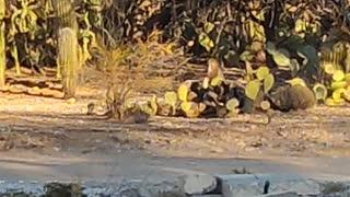 Sonoran Desert Wildlife