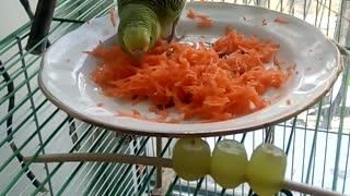 parrot eats