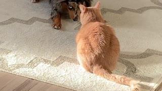 Excited dog desperately tries to befriend grumpy cat