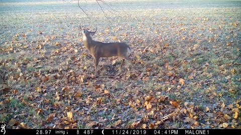 10 pt buck out making his daily rounds, getting some sun while leaving his scent over a scrape