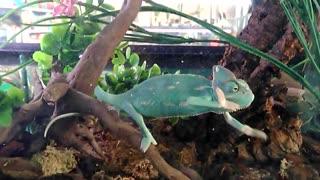 Beautiful Animal chameleon