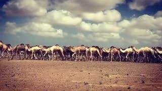 Herd Of Camels Travel Throw Desert