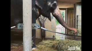 Elephant Eat the lawn morning Trying More than once